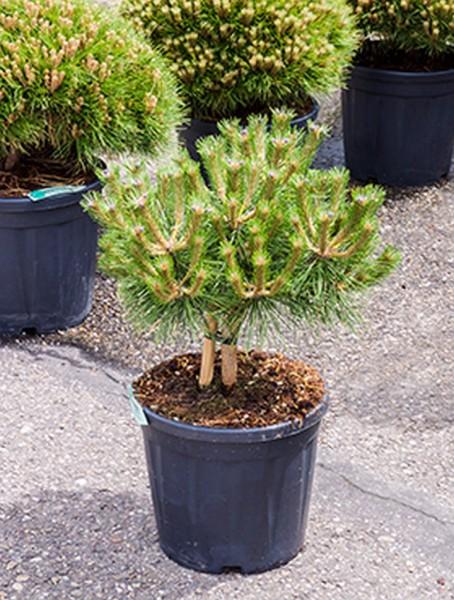 Pinus nigra brepo - Schwarzkiefer