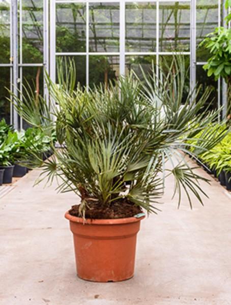 palmen k belpflanzen terrapalme heim und gartenshop. Black Bedroom Furniture Sets. Home Design Ideas