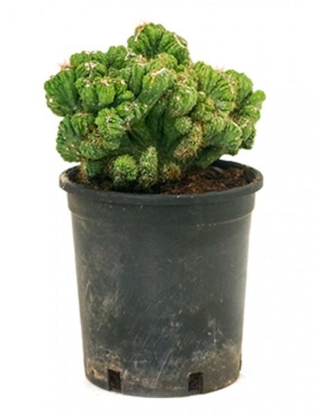Cereus monstrosus crestata