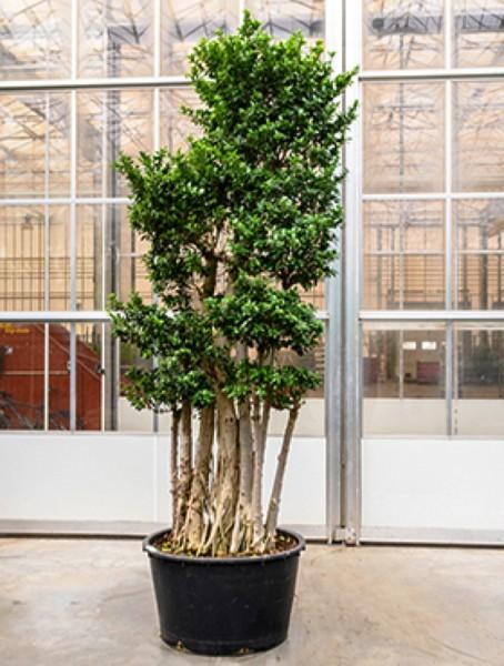 Ficus microcarpa compacta - Multistammvariante