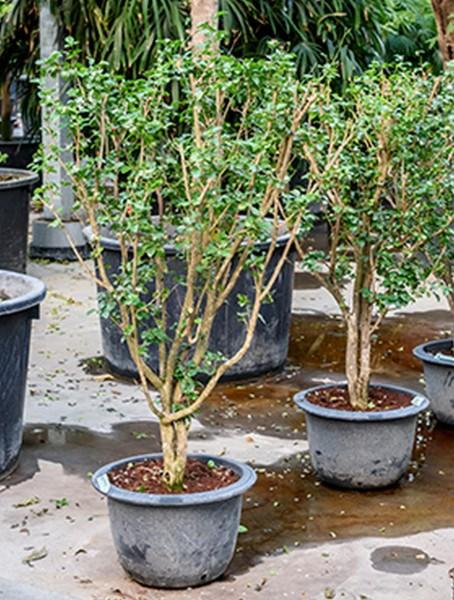 Murraya paniculata I Orangenjasmin