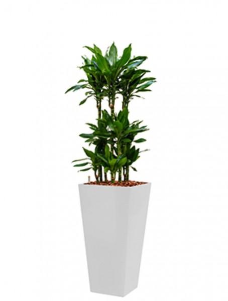 Runner Pflanzkübel eckig bepflanzt mit Dracaena janet lind