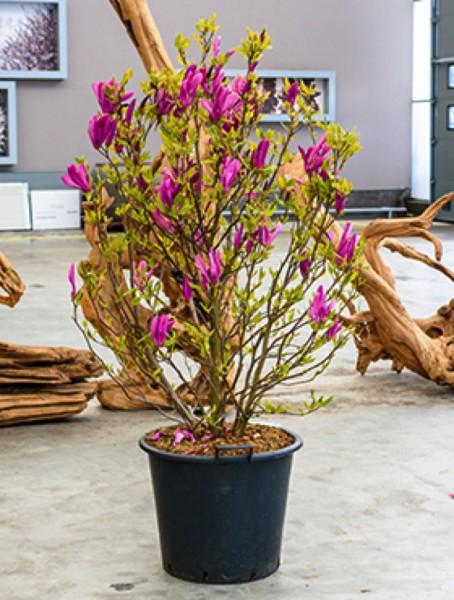 Magnolia susan - Busch