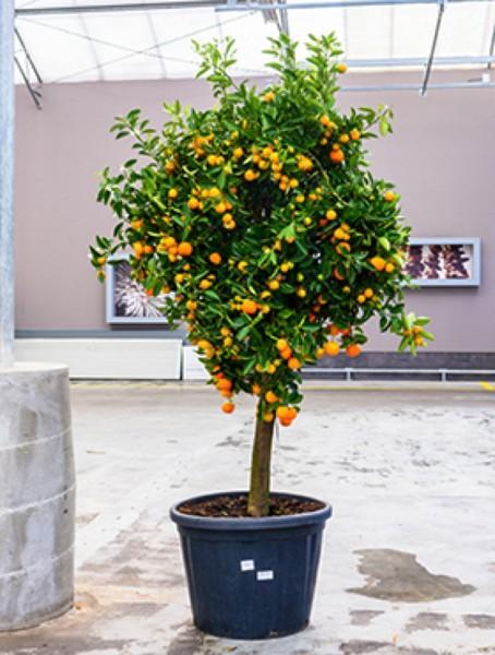 Citrus calamondin - Zwergorangenbaum