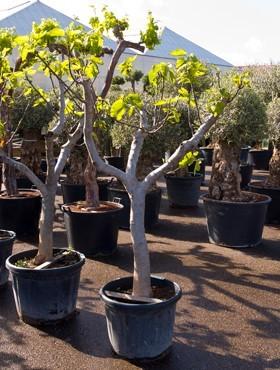 Ficus carica 190 cm