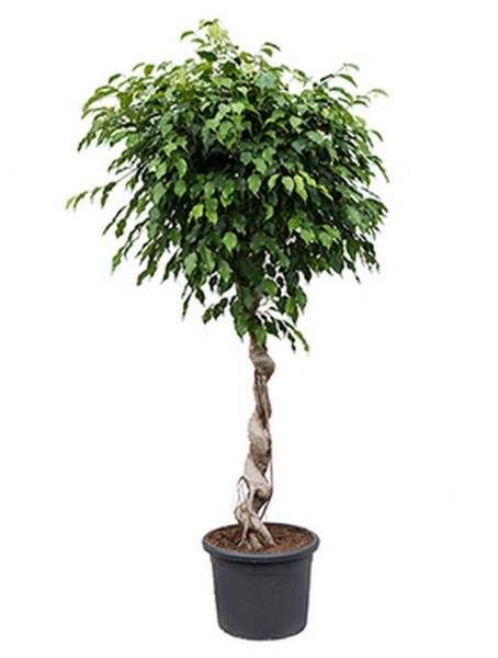 Ficus benjamina 180 cm | Birkenfeige Spirale