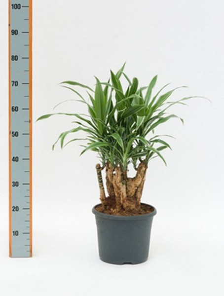 Dracaena deremensis - Drachenbaum