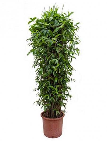 Dracaena surculosa 230 cm - Drachenbaum Busch