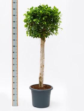 Ficus nitida 160 cm - Lorbeerfeige