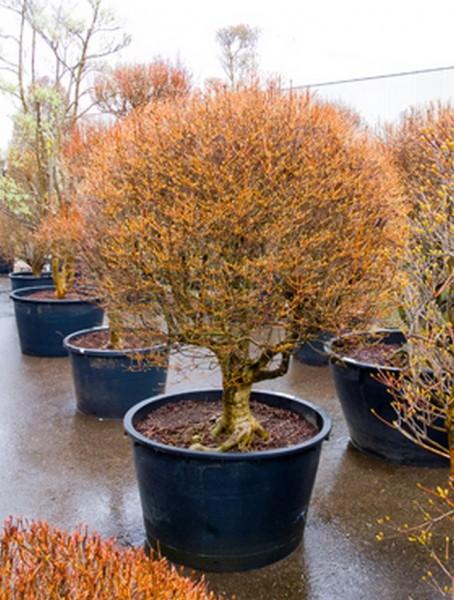 Enkianthus perulatus 220 cm | Baum-Kugel