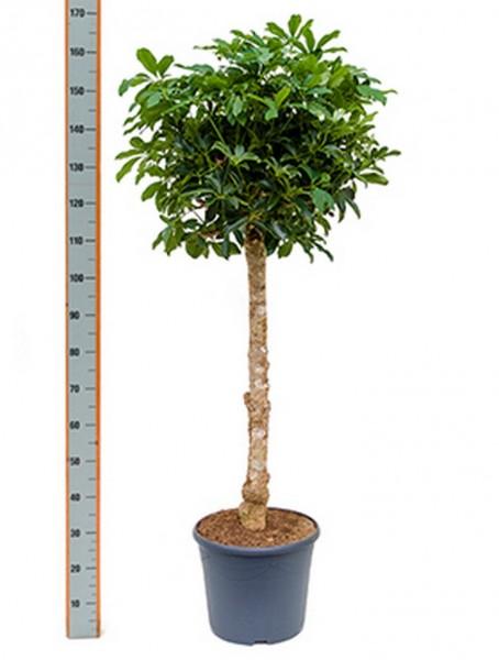 Schefflera arboricola - Strahlenaralienbaum