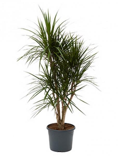 Dracaena marginata - Drachenbaum