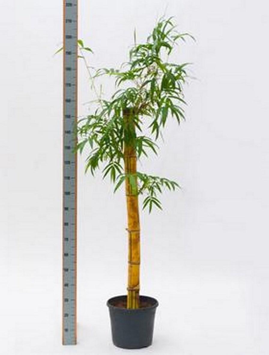 Bambusa vulgaris 160 cm | Gold Bambus