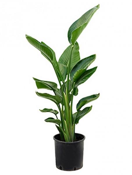 bananengew chse k belpflanzen terrapalme heim und gartenshop. Black Bedroom Furniture Sets. Home Design Ideas