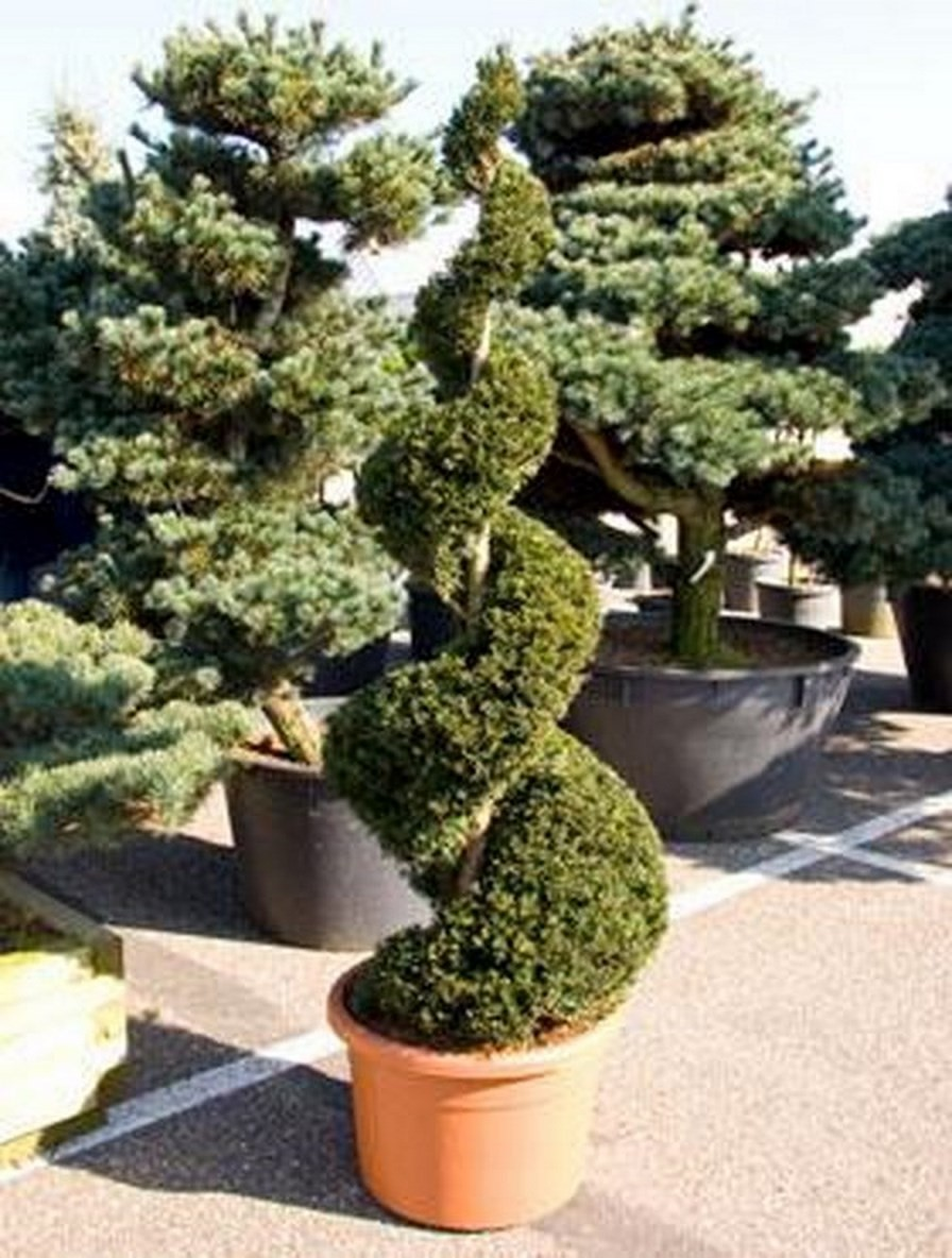 taxus baccata 200 cm eibe spirale terrapalme heim und gartenshop. Black Bedroom Furniture Sets. Home Design Ideas
