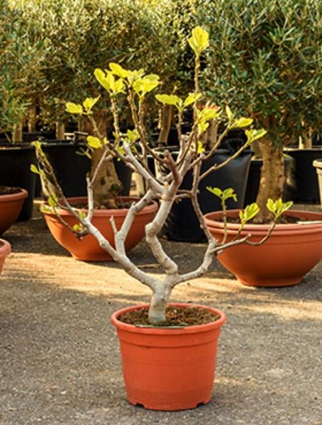 Ficus carica verzweigt