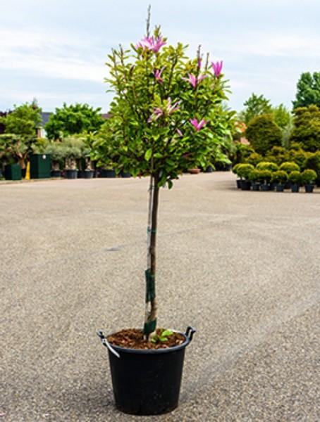 Magnolia susan - Baum