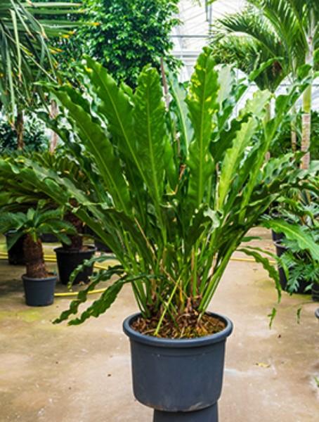 Anthurium jungle hybride Busch