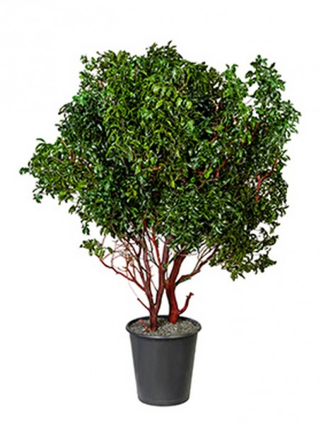 Pittosporum Mumienpflanze 90 cm