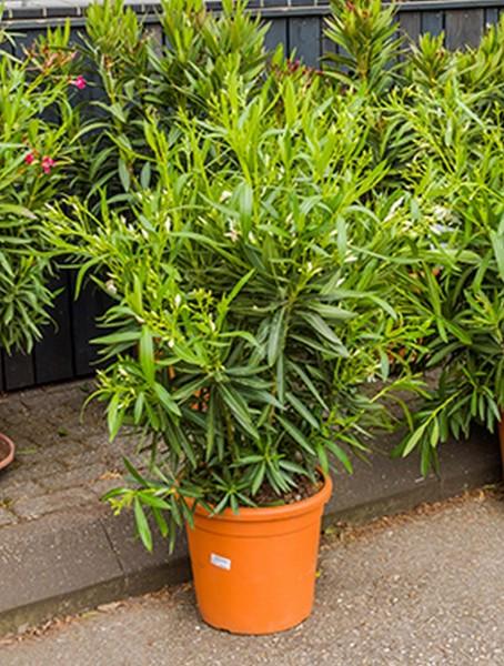 Nerium oleander 110 cm