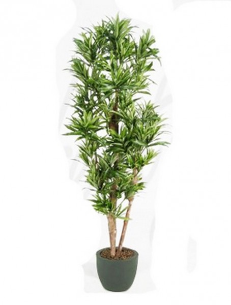 Dracaena reflexa 150 cm - Drachenbaum Kunstpflanze