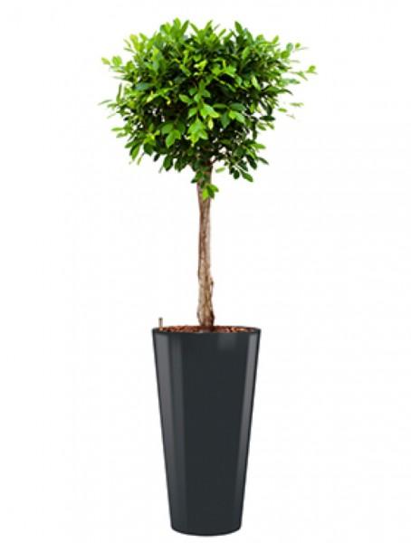 Runner Pflanzkübel rund bepflanzt mit Ficus nitida