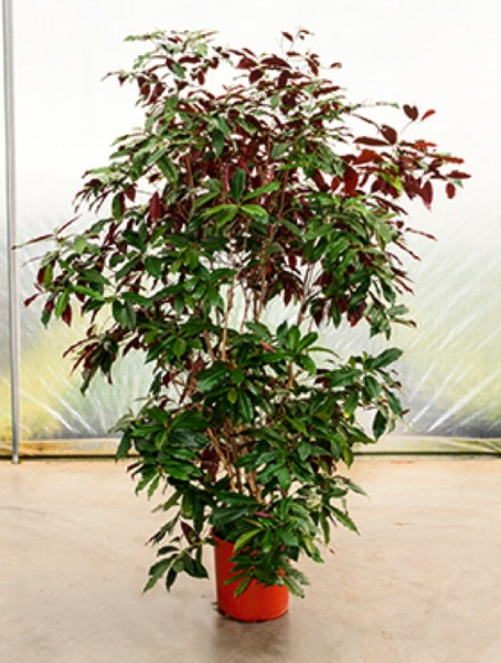 Excoecaria cochinchinensis - Chinesischer Kroton