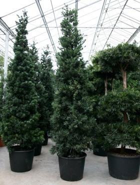 Podocarpus macrophyllus 425 cm   Pyramide