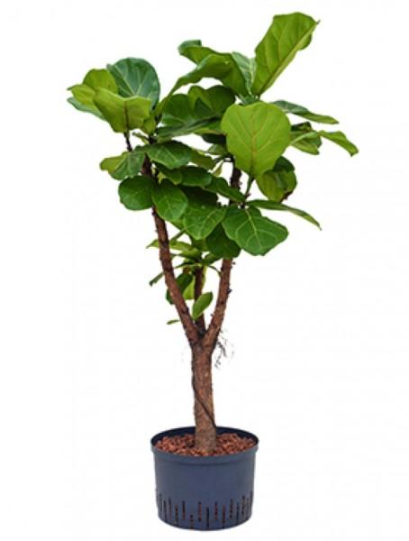 Ficus lyrata | Geigenfeige verzweigt
