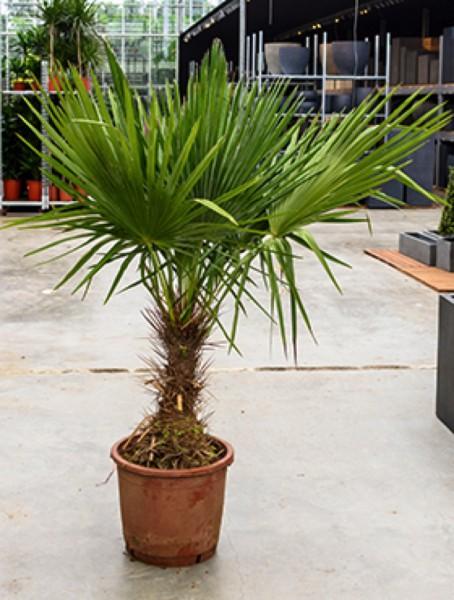 Trithrinax brasiliensis - Brasilianische Nadelpalme
