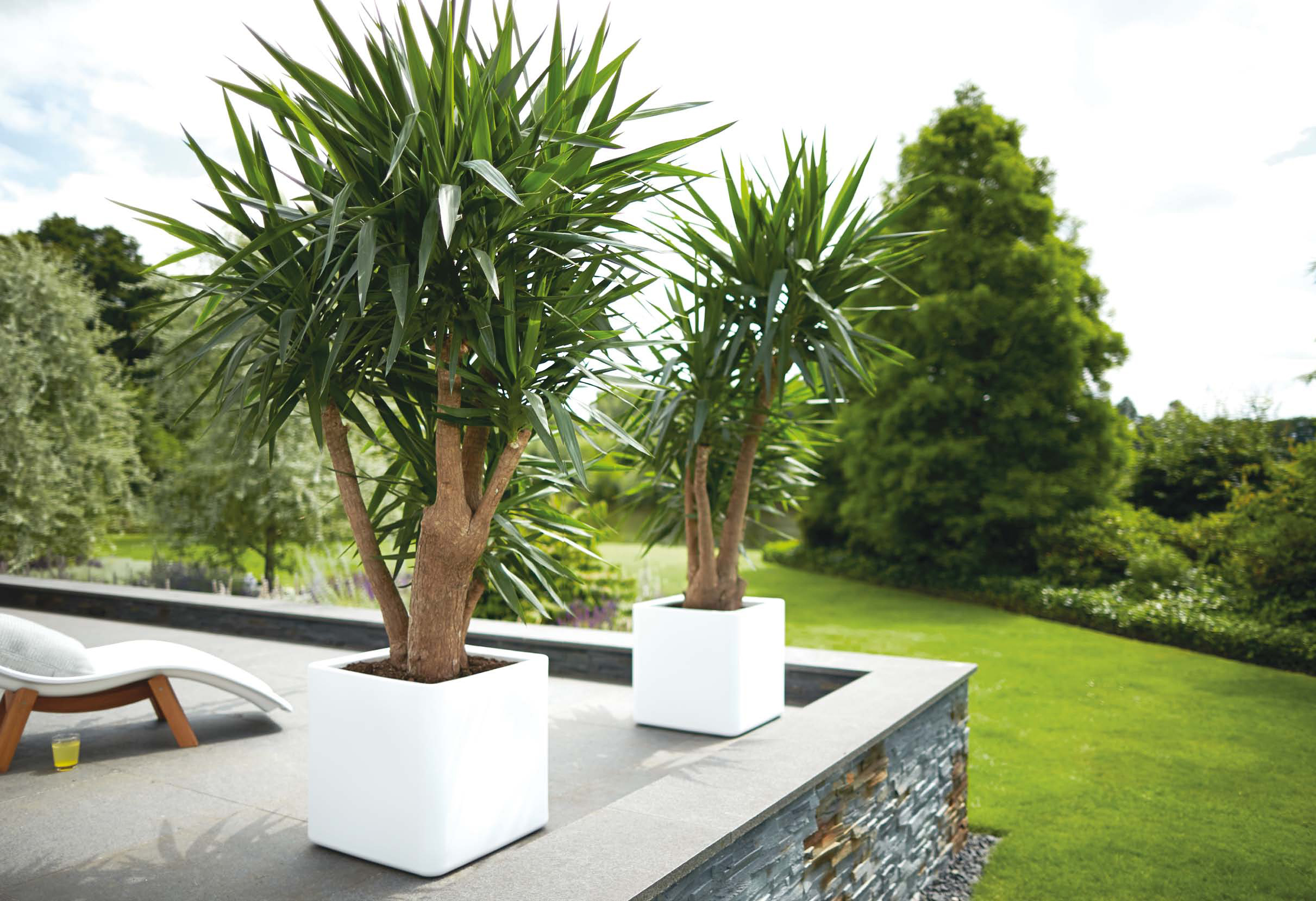 yucca elephantipes 130 cm 3er stamm die palme. Black Bedroom Furniture Sets. Home Design Ideas