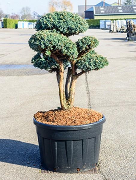 Juniperus sq. meyeri - Bonsai