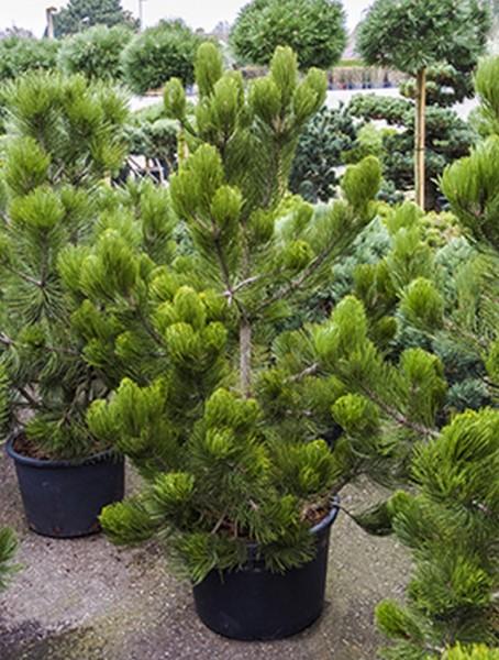 Pinus heldreichii satellit