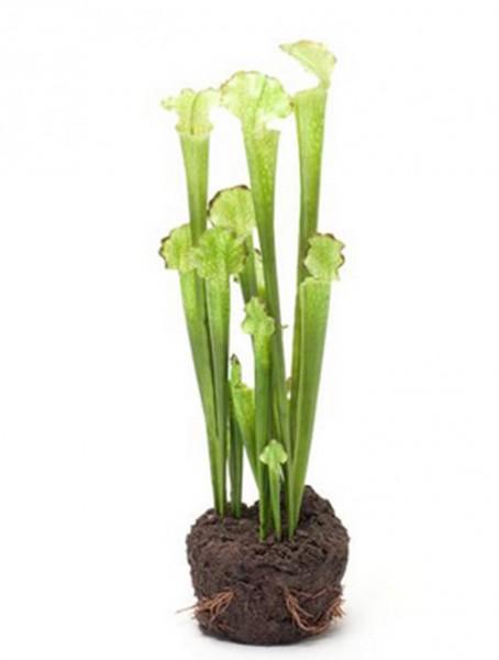 Sarracenia 42 cm | künstliche Trompetenpflanze