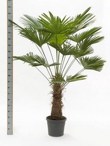 Trachycarpus wagnerianus   wagnersche Hanfpalme