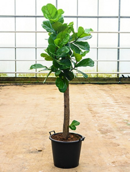 Ficus lyrata - Geigenfeige