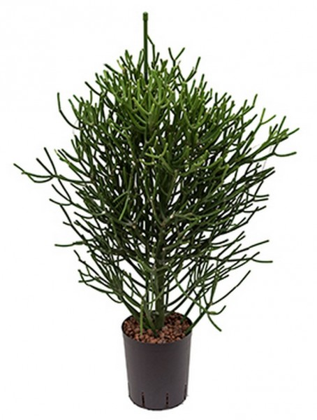 Euphorbia tirucalli Busch - Hydrokultur