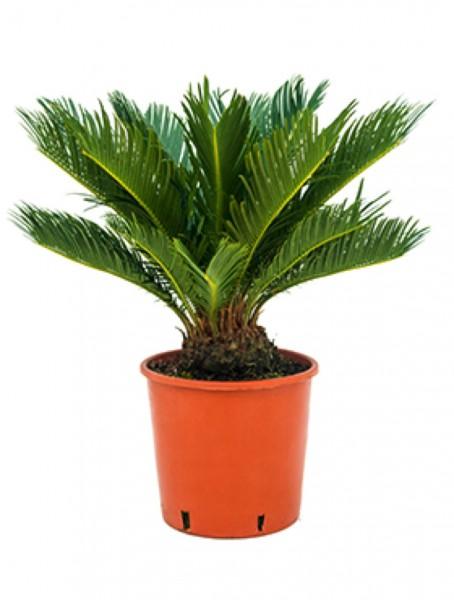 Cycas revoluta | Palmfarn