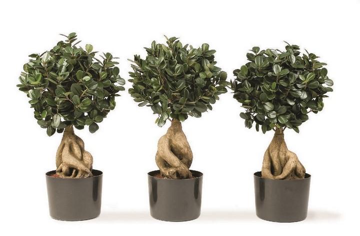 ficus-panda-microcarpa-kunstpflanze-stimmungsbild