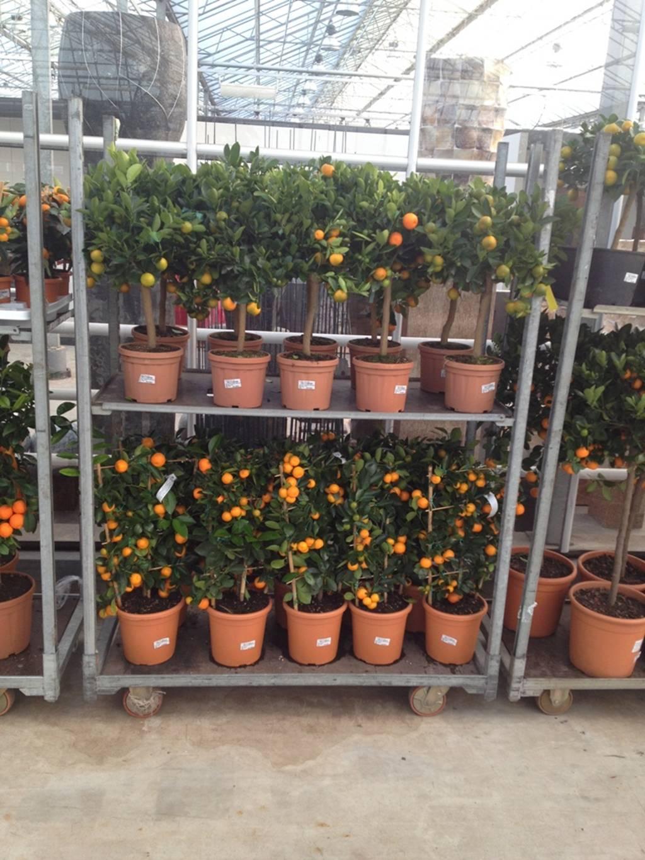 citrus calamondin 90 cm zwergorangen busch palmenmarkt. Black Bedroom Furniture Sets. Home Design Ideas