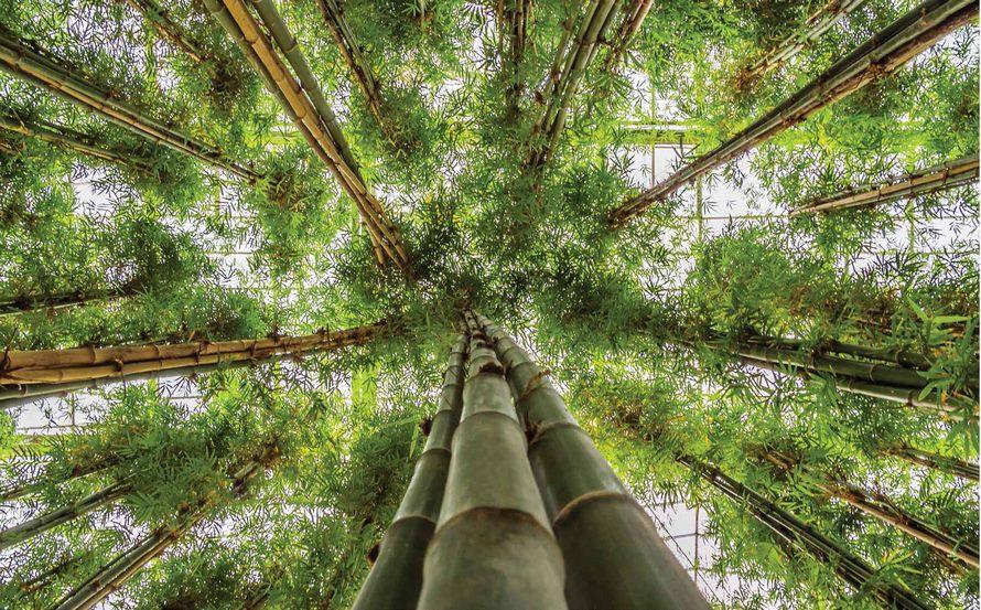 bambusa-vulgaris-stimmungsbild
