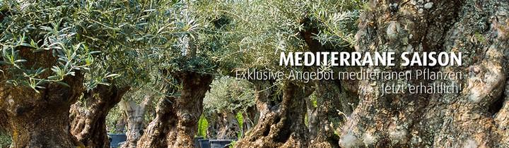 olea-europea-mediterrane-saison