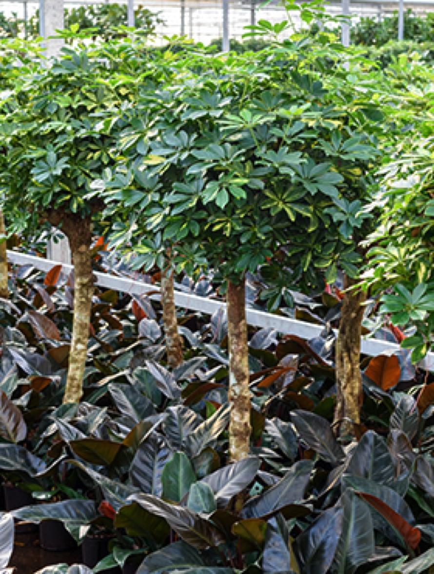 hydrokulturpflanzen online bestellen terrapalme heim und gartenshop. Black Bedroom Furniture Sets. Home Design Ideas