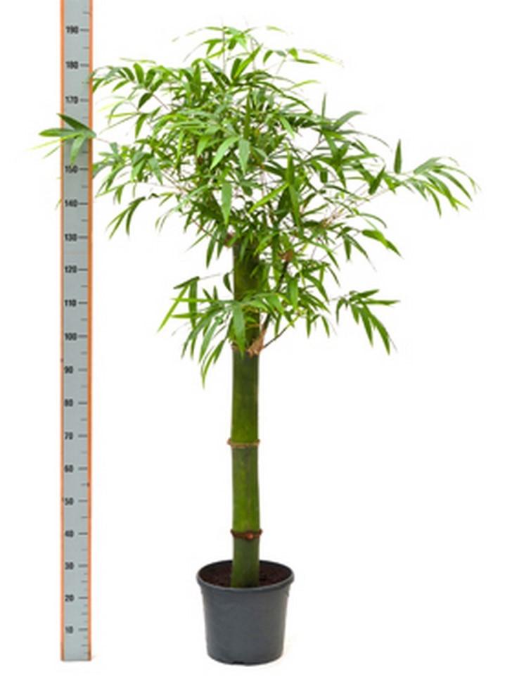 bambusa vulgaris gr n 170 cm bambus terrapalme heim. Black Bedroom Furniture Sets. Home Design Ideas