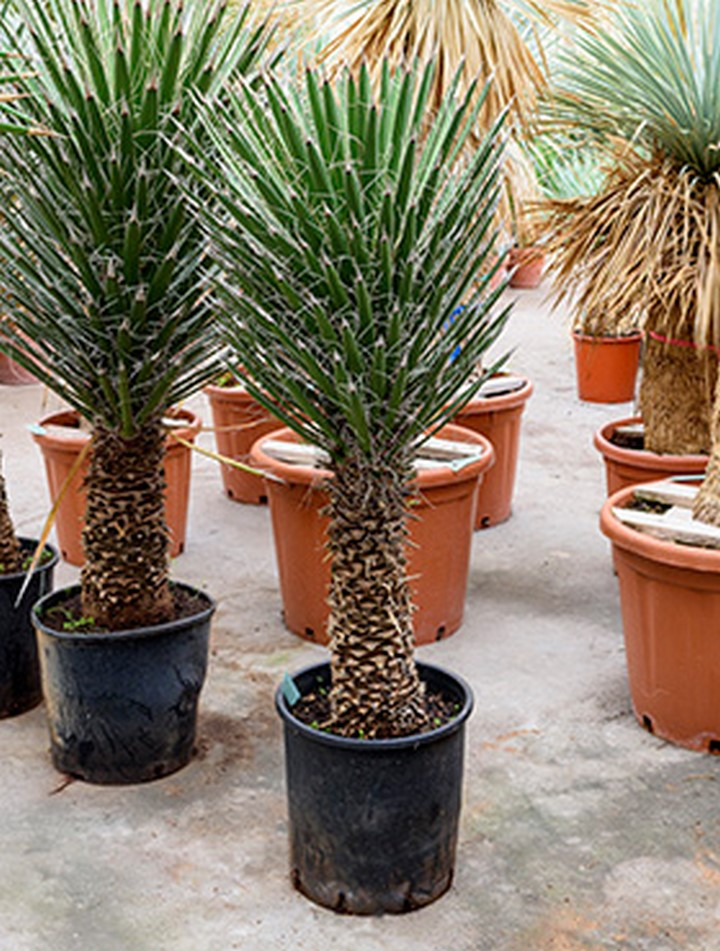 yucca filifera 140 cm terrapalme heim und gartenshop. Black Bedroom Furniture Sets. Home Design Ideas