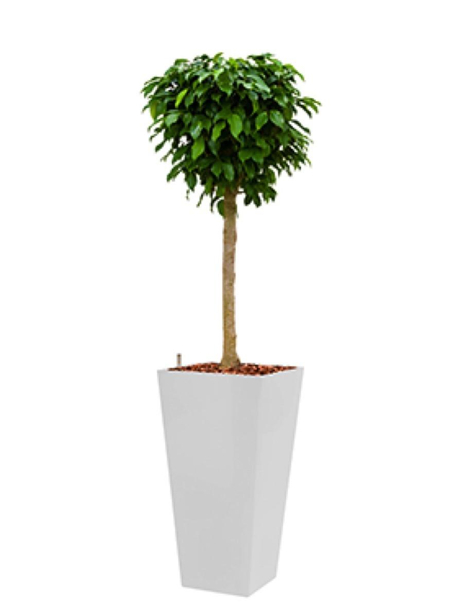 Runner Pflanzkübel eckig bepflanzt mit Ficus columnar | Terrapalme ...