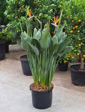 strelitzia reginae paradiesvogelblume bananengew chse k belpflanzen terrapalme heim und. Black Bedroom Furniture Sets. Home Design Ideas