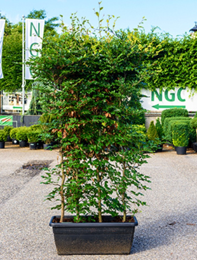 fagus sylvatica rotbuche terrassen spalier terrapalme heim und gartenshop. Black Bedroom Furniture Sets. Home Design Ideas