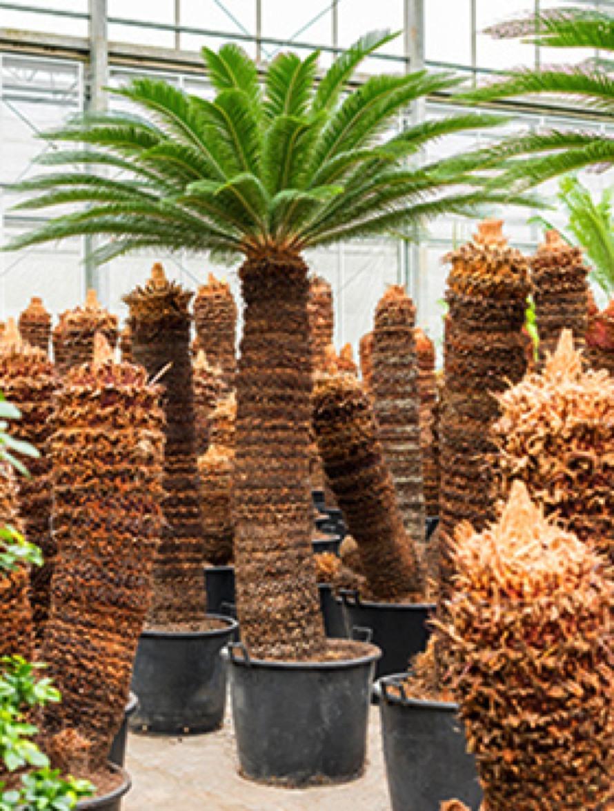 cycas revoluta 320 cm xxl palmfarn terrapalme heim und gartenshop. Black Bedroom Furniture Sets. Home Design Ideas