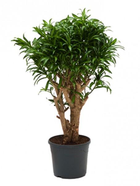 Dracaena compacta drachenbaum hydrokultur for Zimmerpflanzen hydrokultur